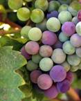 Grapes Antioxidant