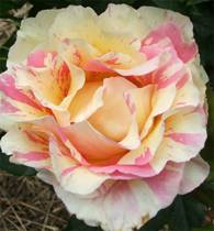 mothers-day-rose